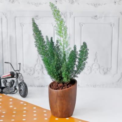 Asparagus Plant in Ceramic Planter