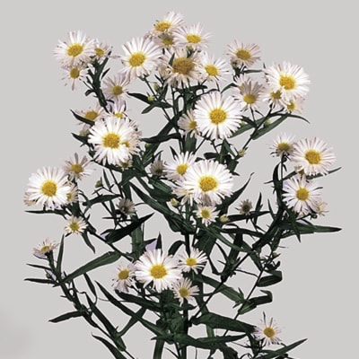 Aster Casablanca (Bunch of 10)