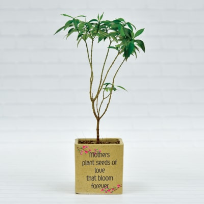 Attractive Jasmine Chandni Plant in Ceramic Planter(Moderate light/Moderate Water