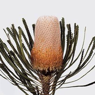 Banksia Hookeriana Peach (Bunch of 5)
