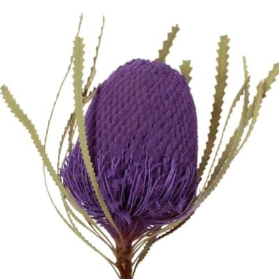 Banksia Hookeriana Purple (Bunch of 5)