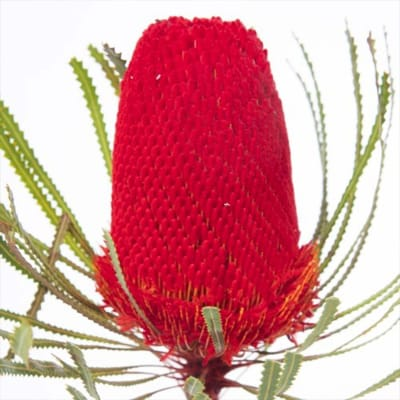 Banksia Hookeriana Red (Bunch of 5)