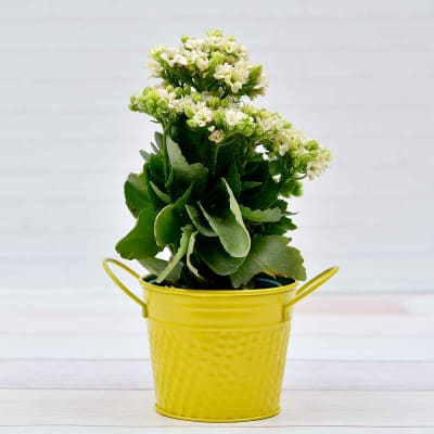 Beautiful Kalanchoe Flowering Plant