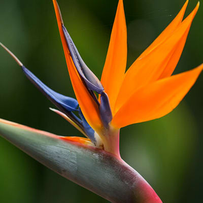 Birds of Paradise (Bunch of 10)