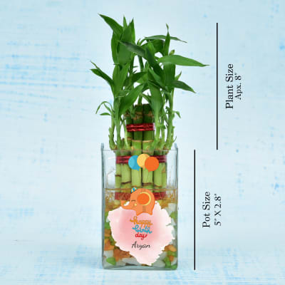 Birthday Special Two Layered Lucky Bamboo In Glass Vase Moderate Sunlight Less Water