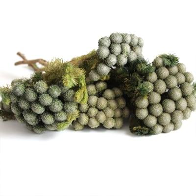 Brunia Albiflora Green (Bunch of 10)