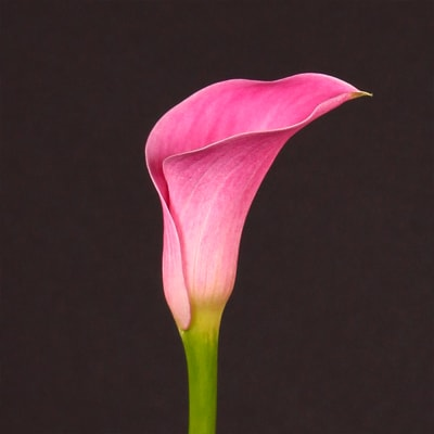 Calla Lily - Zantedeschia Captain Arosa (Bunch of 10)