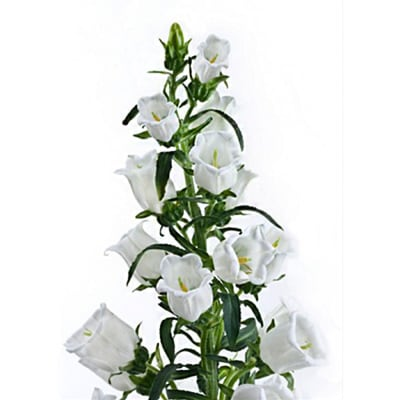 Campanula Medium Champion White (Bunch of 10)