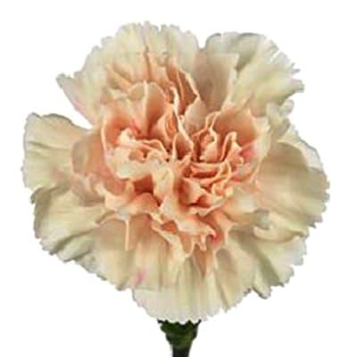 Carnation Apple Tea (Bunch of 20)