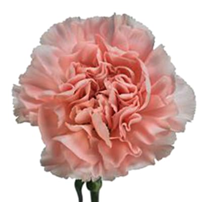 Carnation Arbeli (Bunch of 20)