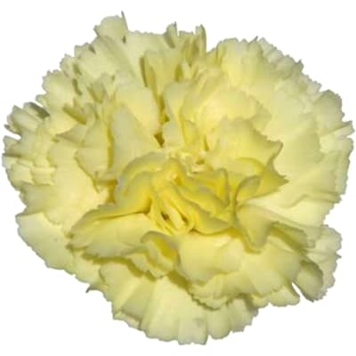 Carnation Buttermilk (Bunch of 20)