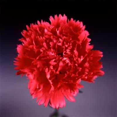 Carnation Castellaro (Bunch of 20)