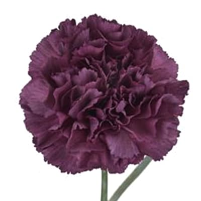 Carnation Extasis (Bunch of 20)