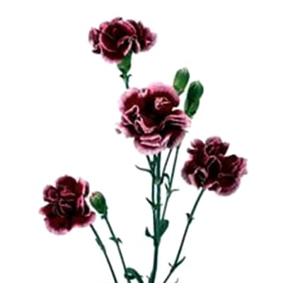 Carnation Spr. Berry (Bunch of 20)