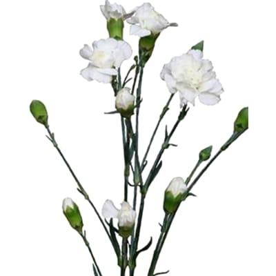Carnation Spr. Bridal White (Bunch of 20)