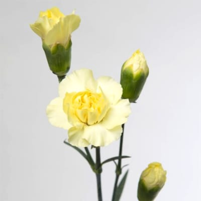 Carnation Spr. Cantate (Bunch of 20)