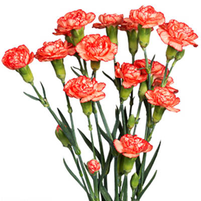 Carnation Spr. Guadaloupe Select (Bunch of 20)