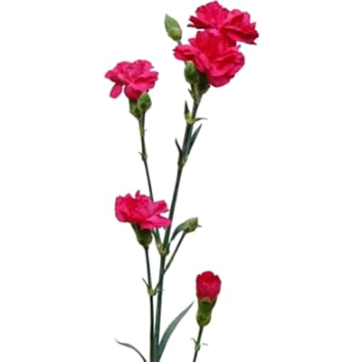 Carnation Spr. Hot Pink (Bunch of 20)