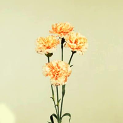 Carnation Spr. Medea (Bunch of 20)