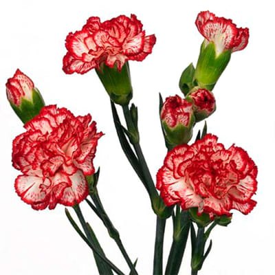 Carnation Spr. Minuetto Hf (Bunch of 20)
