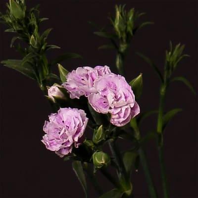Carnation Spr. Raffine Odille (Bunch of 20)