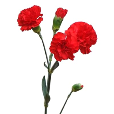 Carnation Spr. Scarlet (Bunch of 20)