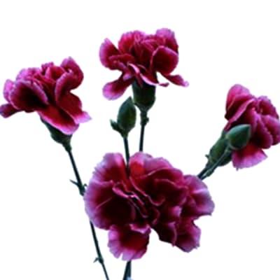 Carnation Spr. Tessino (Bunch of 20)