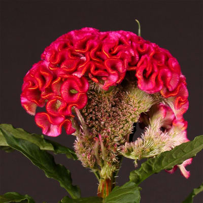Celosia Rima (Bunch of 5)
