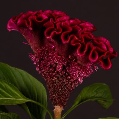 Celosia Wicked (Bunch of 5)