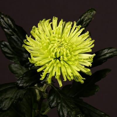 Chrysanthemum Anastasia Dark Lime (Bunch of 10)