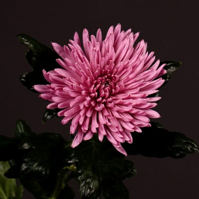 Chrysanthemum Anastasia Lilac (Bunch of 10)