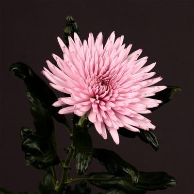 Chrysanthemum Anastasia Pink (Bunch of 10)