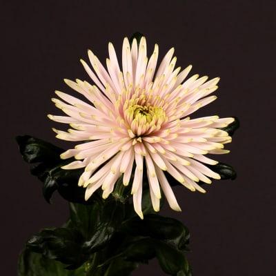 Chrysanthemum Anastasia Star Pink (Bunch of 10)