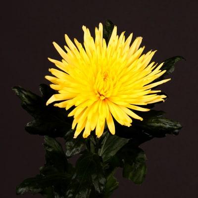 Chrysanthemum Anastasia Sunny Yellow (Bunch of 10)