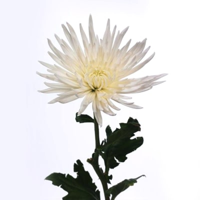 Chrysanthemum Anastasia White (Bunch of 10)