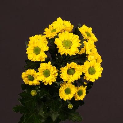 Chrysanthemum Aviso (Bunch of 10)