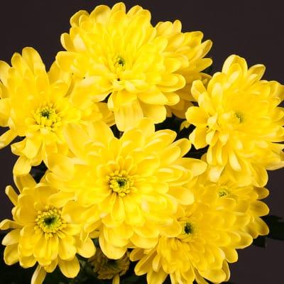 Chrysanthemum Baltica Yellow (Bunch of 10)