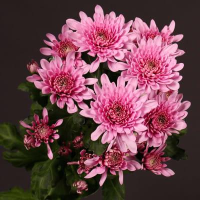 Chrysanthemum Bretagne Pink (Bunch of 10)