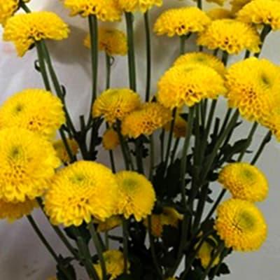 Chrysanthemum Bumble Bee (Bunch of 10)