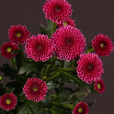 Chrysanthemum Calimero Dark Pink (Bunch of 10)
