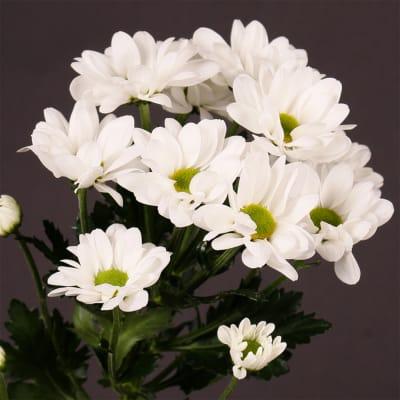 Chrysanthemum Chic (Bunch of 10)