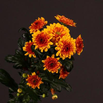Chrysanthemum Deliflame (Bunch of 10)