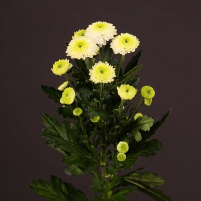 Chrysanthemum Ferry (Bunch of 10)