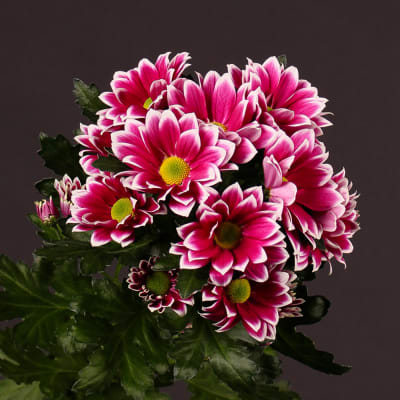 Chrysanthemum Firmenich (Bunch of 10)