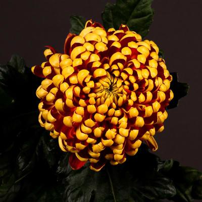 Chrysanthemum Fuego Dark (Bunch of 10)