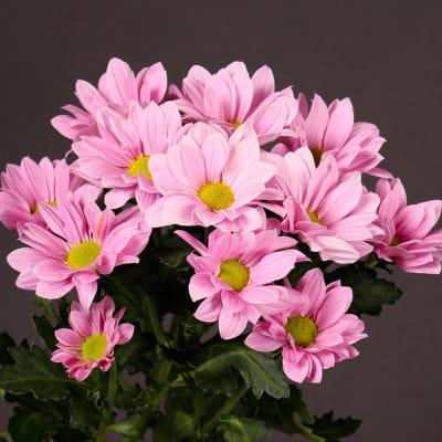 Chrysanthemum Grand Pink (Bunch of 10)