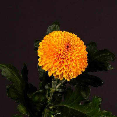 Chrysanthemum Paladov (Bunch of 10)