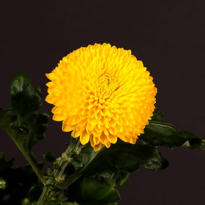 Chrysanthemum Paladov Sunny (Bunch of 10)