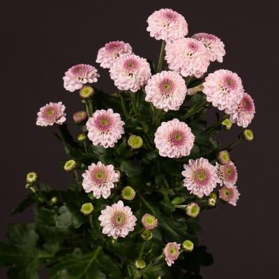 Chrysanthemum Pinky Rock (Bunch of 10)