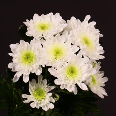 Chrysanthemum Radost (Bunch of 10)